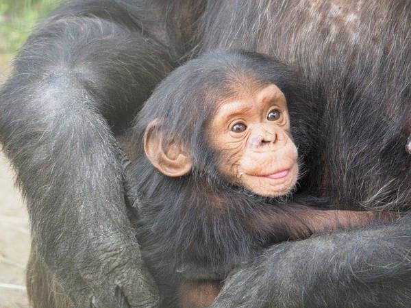 Volontariato con scimpanzé in Africa